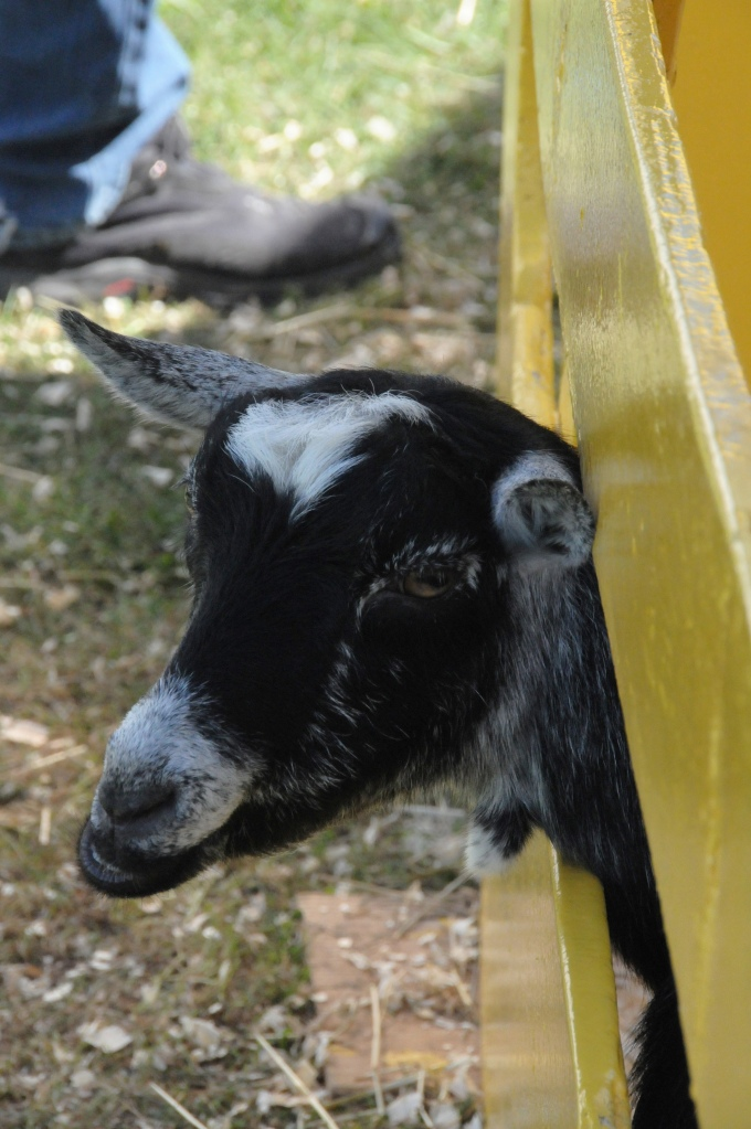 A baby goat.